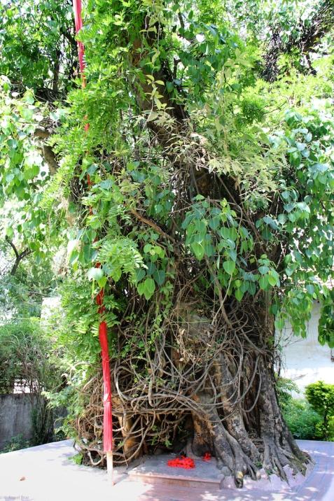 An old peepul tree